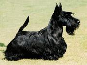 Продам щенят шотландского скотч-терьера