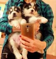 Продам щенков Сибирской Хаски!