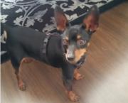 Вознаграждение $100 за пропавшую собачку