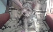 щенок йоркшиского терьера сука 3.5 месяца