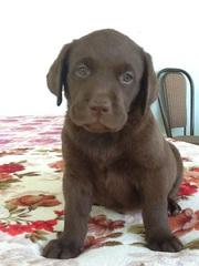 Продаются породистые щенки лабрадора ретривера,  цвет- шоколад