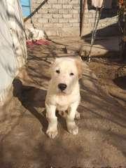 Продаю в  ташкенте щенков алабая