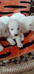 Продаются щенки алабая